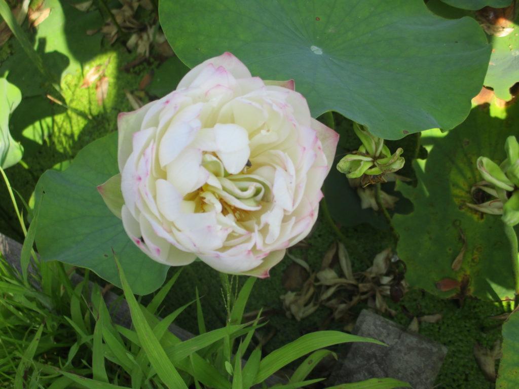 7月31日現在の開花情報です。 ハスの花が咲いています、入口手前の池にはカワセミの写真を撮りに来る方が多くなって来ました。